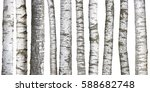 Birch Tree Trunks Isolated On...