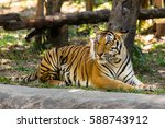 bengal tiger beg for no... | Shutterstock . vector #588743912