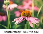 Purple Daisy Flower Blooming I...
