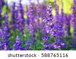 sunset over a violet lavender... | Shutterstock . vector #588765116