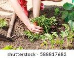 summer work in the garden....   Shutterstock . vector #588817682