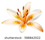 Beautiful Yellow Lily Isolated...