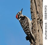 Ladder Backed Woodpecker At...