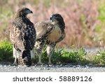 Red Tailed Hawk Siblings...