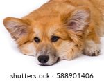 corgi fluffy close up portrait... | Shutterstock . vector #588901406