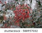 Red Berries On Bush In Rain