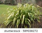 phormium 'yellow wave'  new... | Shutterstock . vector #589038272