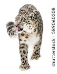 Snow Leopard Walking In Snow
