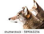 profile portrait of a red wolf... | Shutterstock . vector #589063256