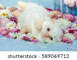 cute little color point kitten... | Shutterstock . vector #589069712