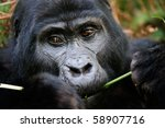 Gorillas Are The Largest Of Th...