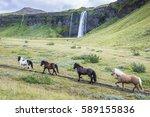 herd of icelandic horses near... | Shutterstock . vector #589155836
