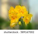 yellow freesia flower macro ... | Shutterstock . vector #589167002