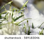The First Snowdrops On Snow