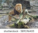 A Waxing Lion Standing Upright...