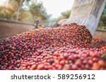 collecting coffee beans   Shutterstock . vector #589256912