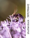 Small photo of Bee collecting nectar on purple alum garlic flower. macro close-up. selective focus shot with shallow DOF