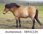 Single icelandic chestnut pony stallion against a wilderness background