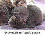 Stock photo newborn kittens 589314596