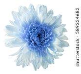 white blue flower chrysanthemum ... | Shutterstock . vector #589324682