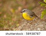eastern yellow robin ... | Shutterstock . vector #58938787