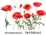 red poppies isolated on white...   Shutterstock . vector #589388462