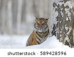 Hidden Tiger With Snowy Face I...