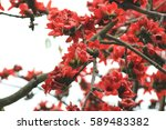 the bombax ceiba tree with red... | Shutterstock . vector #589483382