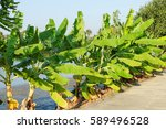 banana tree with blue sky | Shutterstock . vector #589496528