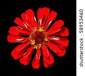 Beautiful Red Zinnia Elegans Isolated on Black Background - stock photo