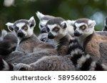 ring tailed lemur  lemur catta .... | Shutterstock . vector #589560026