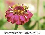 Pink Flower. Pink Zinnia Flower