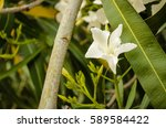 white nerium   Shutterstock . vector #589584422