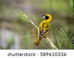 Southern Masked Weaver  Ploceu...