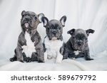 adorable french bulldog puppy | Shutterstock . vector #589679792