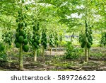 Healthy Papaya Fruits Growing...