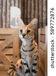 Serval Or Serval Cat  Felis...