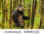 rwandan golden monkey sitting... | Shutterstock . vector #589881182