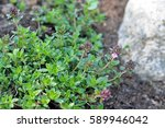 thymus serpyllum  known as... | Shutterstock . vector #589946042