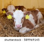 Two Cute Healthy Little Calf...