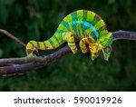 Angry Chameleon Furcifer...