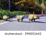 Three Wild Raccoon Dogs