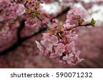 Kawazu Cherry Tree