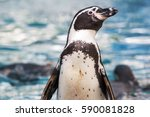 Humboldt Penguin On The Shore...