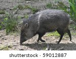 Closeup Of Collared Peccary ...