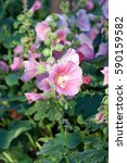 Small photo of Hollyhock (Althaea rosea) blossoms