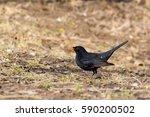 Male Common Blackbird  Turdus...