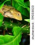 chameleon | Shutterstock . vector #59033023