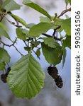 Small photo of common alder, black alder, European alder (Alnus glutinosa) leaves and cones