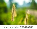 flowering grass  background... | Shutterstock . vector #590426186